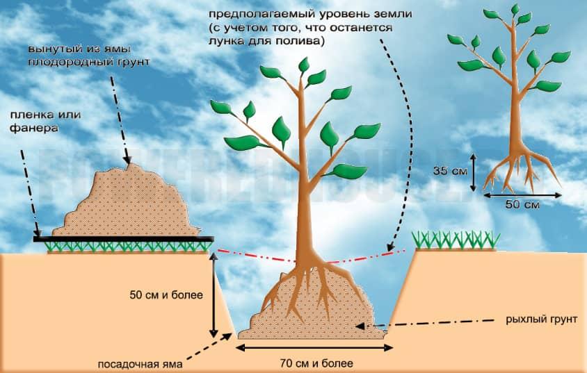 как посадить дерево правильно
