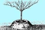 посадка плодовых деревьев на холмы и валы