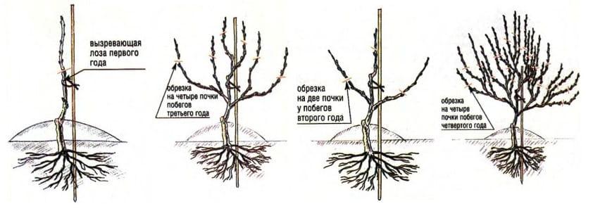 обрезка куста винограда