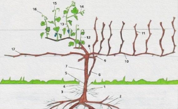 куст винограда структура