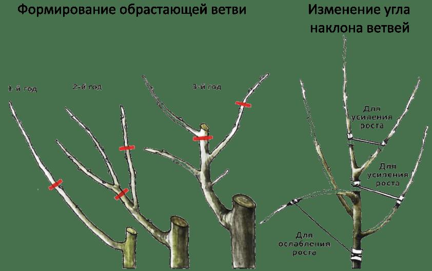 какая должна быть форма кроны у плодового дерева