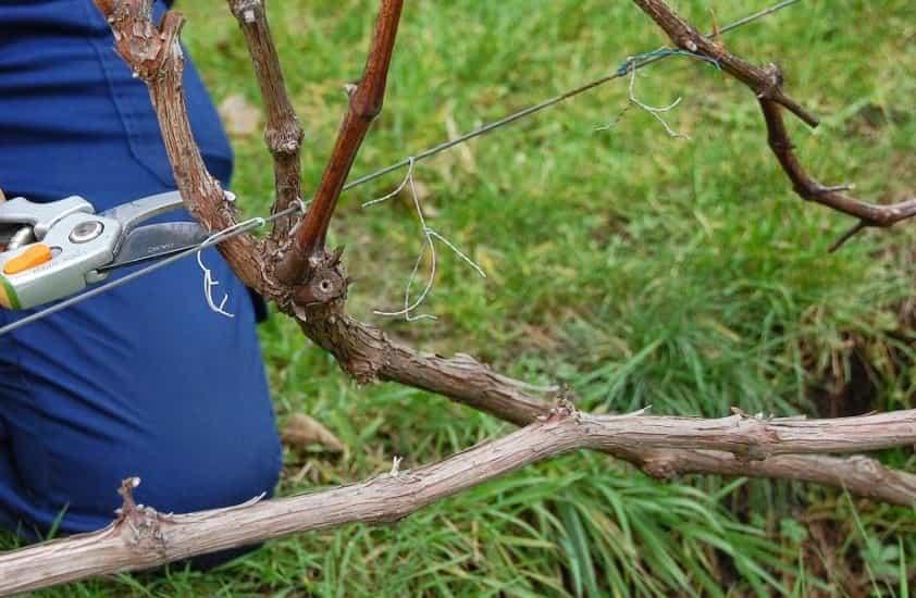 как обрезать виноград правильно